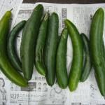収穫した胡瓜