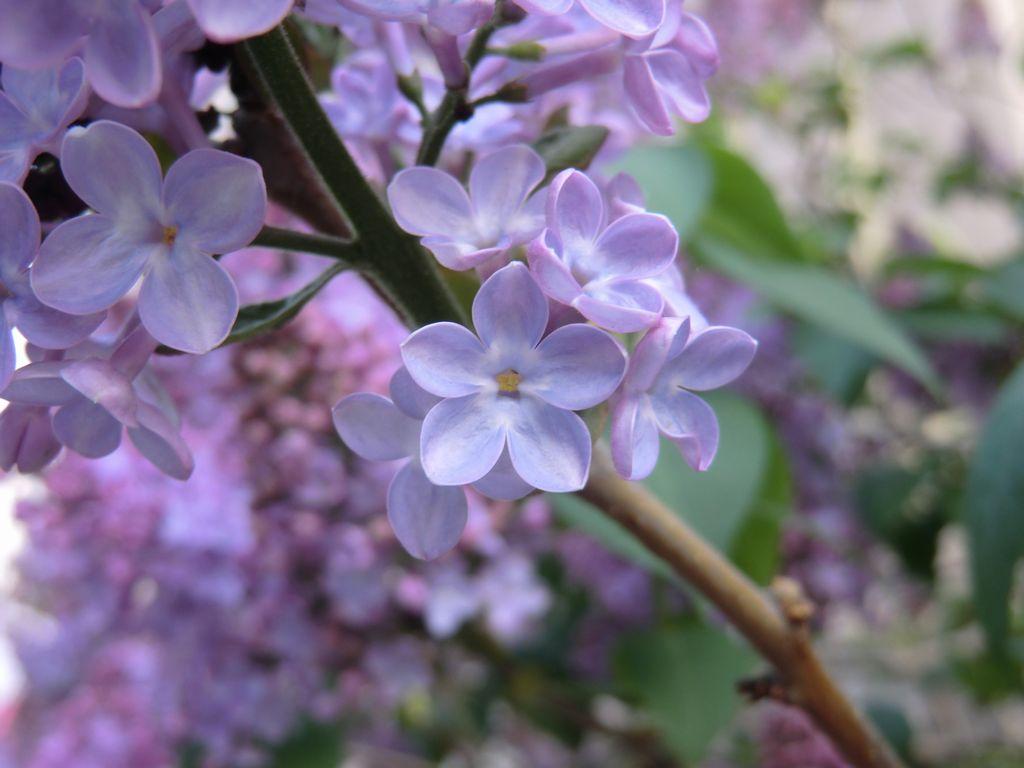 Happy lilac
