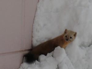 協和温泉の玄関に来ていた野生のテン。