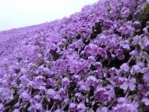 芝桜の花を近くで見るとこんな感じ。