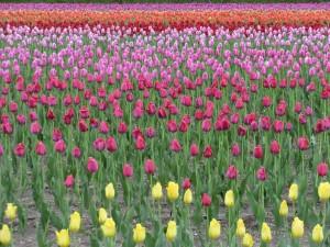 上湧別のチューリップ公園で咲いていたチューリップの群れ。