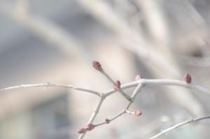 近所の樹の花芽
