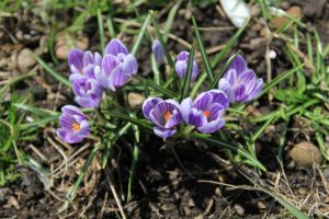 クロッカスの花