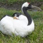 母鳥の背中から顔を覗かせる丹頂の雛。