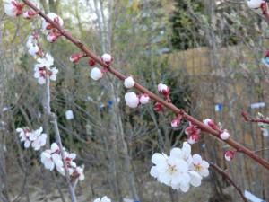 """園芸市で売られていた""""豊後""""という品種の梅の花とつぼみ。"""