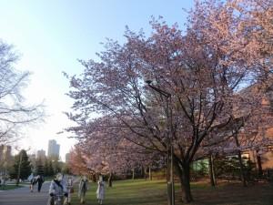 会場近くで咲いていた桜