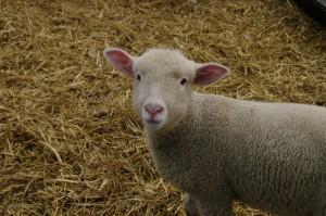 子羊の一頭。この子は女の子。