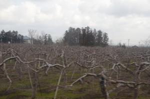 川部と五所川原の間で車窓から見えたリンゴ畑。季節が早いので木々はまだ葉も付けていない。