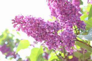 近所で咲いていたライラックの花、ちょっと色が濃い品種なのかな?