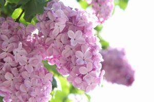 これも近所で咲いていた花、先のに比べると少し色が薄い。