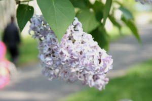 前田森林公園の樹に咲いていたライラックの花で、自宅近くの樹の花より色が薄い。